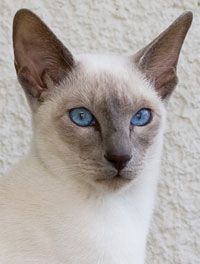 Blue Point Siamese