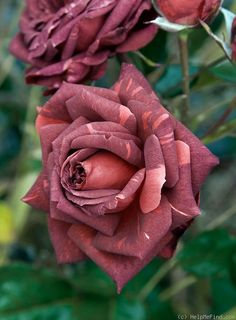 """Striped Jocelyn"" Rose.  Beautiful.  I love the color variations and may just have to find on and plant it in my garden."