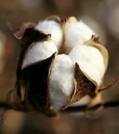 Bill Barksdale Premium Thick-Wrap Canvas Wall Art Print entitled Closeup of a partially open cotton boll, Mississippi, None Southern Comfort, Southern Belle, Southern Charm, Southern Women, Southern Living, Cotton Fields, Sweet Home Alabama, Seed Pods, Sweet Tea