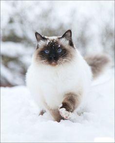 .♥.snow kitty.♥.