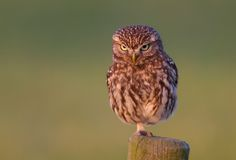 Little owl is angry