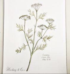 ©Hackney & Co Day 88 #caraway #scottish #wildherb #botanicalillustration #watercolour #ink #herbs #prints #100daysofillustration #hackneyandco100days