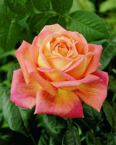 Rare Orange Pink Rose Seeds Flower Bush Perennial Shrub Garden Home Exotic Home Yard Grown Party Wedding Bi Color Bright Tropical 195 by PetalAndThornSeeds on Etsy