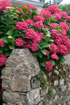 """Hydrangeas over break stone wall - Hortensien über Bruchsteinmauer"" Photography by Ralf Rosendahl posters, art prints, canvas prints, greeting cards or gallery prints. Hortensia Hydrangea, Hydrangea Garden, Pink Garden, Hydrangea Flower, Dream Garden, Flowering Shrubs, Trees And Shrubs, Trees To Plant, Amazing Flowers"