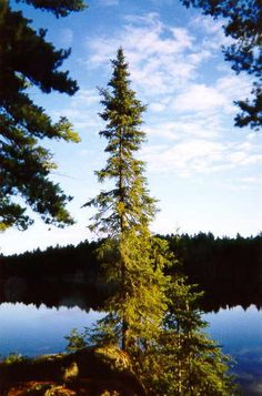 Black Spruce, this is what I'm gonna try to get my wifes approval on Alien Plants, Spruce Tree, Atlantic Canada, Cape Breton, Nova Scotia, Native Plants, Pet Birds, Natural Beauty, Image Search