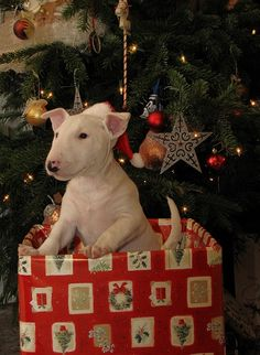 Someone got their christmas wish! English Bull Terrier puppy