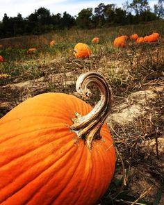 Carpe #Pumpkin  #pumpkinpatch #lookatthatcurve #prettypumpkin #fall #pumpkinspice #pumpkineverything #pumpkinlover #pumpkinrdn #onceuponapumpkin