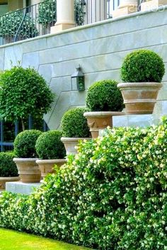 Potted Boxwood Topiary Boxwood Tree, Boxwood Topiary, Fine Gardening, Container Gardening, Cloud Pruning, Landscape Design, Garden Design, Tree Planters, Street Trees