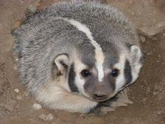 Badger. I think they are cute.