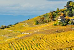 Lavaux Vineyards, Switzerland. Sprawling across 2000 acres, Lavaux is the largest contiguous vineyard region in Switzerland. This UNESCO World Heritage Site is best known for its hillside terraces and 16th-century towns.