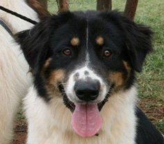 Roscoe is an adoptable Bernese Mountain Dog Dog in Enfield, CT. Rosce is an 11month old Bernese mountain dog/border collie mix dog. This boy and his siblings came in as owner surrenders. Roscie is a f...