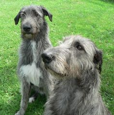 Beautiful Irish Wolfhounds!