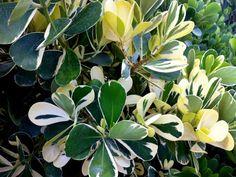 variegated clusia | Clusia Guttifera