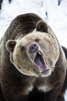 OUrs brun / savage brown Bear Beautiful Creatures, Animals Beautiful, Animals And Pets, Cute Animals, Nature Animals, Photo Animaliere, Tier Fotos, Mundo Animal, Fauna