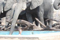 Swimming with elephants at Nehimba Safari Lodge, Hwange, Zimbabwe