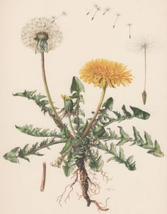 Vintage Botanical Print Dandelion Taraxacum by AntiquePrintGarden