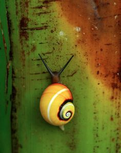 They're called Painted Snails or Cuban Land Snails (Polymita picta) and so they are appropriately found in Cuba. All of these stunning photos were taken by Flickr user Adrián González Guillén.