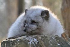 Aber das ist doch nur das kuschelige Winterfell was den Polarfuchs so dicklich aussehen läßt...   Die 4 Polarfüchse sind allesamt fotogen ...besonders schön wenn sie sich auf den Stamm im Gehege legen oder setzten:-)   WP Lüneburger Heide