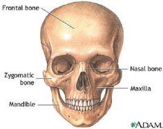 human-skull-diagram2.jpg (500×400)
