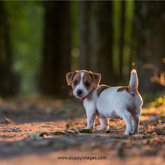 Some Helpful Ideas For Training Your Dog. Loving your dog does not mean you are willing to let him go hog wild on your possessions. That said, your dog doesn't feel the same way. Cute Puppies, Cute Dogs, Dogs And Puppies, Doggies, Jack Russell Puppies, Jack Russell Terrier, Terrier Puppies, Bull Terrier Dog, Terriers