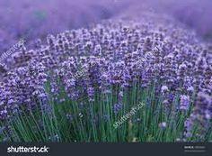 Image result for lavender plant images