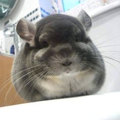 The case of the perfectly round Chinchilla Super Cute Animals, Cute Little Animals, Chinchillas, Chinchilla Cute, Animals And Pets, Funny Animals, Dog Anxiety, Hamster, Cute Mouse