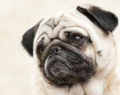 l-o-l-a-lola-the-pug-kathy-clark.jpg (900×720)