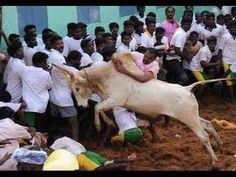 The Tamil sport of jallikattu(bull taming)