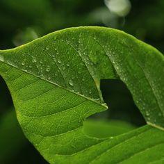 Love leaf by ~PoppyHunter on deviantART