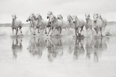 the-white-horses-of-the-camargue-00