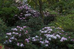 Rhodo.yaku.jpg - - landscape - - by CYAN Horticulture