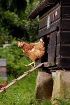 (via Chicken Exiting Hen House Stockfoto's Country Farm, Country Life, Country Living, Gallus Gallus Domesticus, Chickens And Roosters, Hen House, Farms Living, Down On The Farm, Raising Chickens