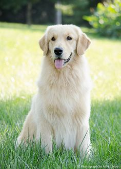 All the things we like about the Devoted Golden Retriever Puppy Positive Dog Training, Training Your Puppy, Dog Training Tips, Potty Training, Chien Golden Retriever, White Retriever, Dog Rates, Family Dogs, Dog Behavior