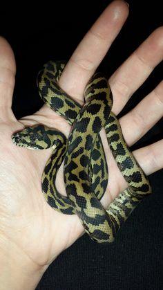 Steve, carpet python
