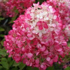 Buy hydrangea Hydrangea paniculata Diamant Rouge ('Rendia') (PBR) - The deepest red flowers of all the paniculatas: 3 litre pot: Delivery by Crocus Cut Flowers, Colorful Flowers, White Flowers, Hydrangea Paniculata, Garden Shrubs, Garden Beds, Pic Vert, Lagerstroemia, Gardens