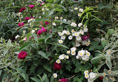 Zigeuner Knabe and Rambling Rector two beautiful and perfumed roses for your garden.