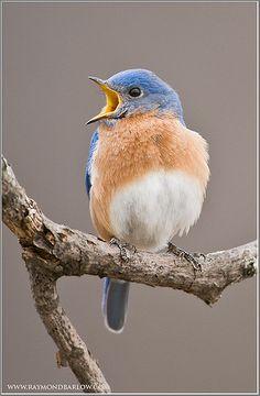Eastern Bluebird    by Raymond J Barlow
