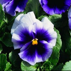 50 Pansy Seeds Faces Beaconsfield FLOWER SEEDS by nurseryseeds