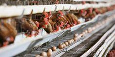 #Que sait-on du fipronil, le pesticide au cœur de l'affaire des œufs contaminés ? - Europe1: Europe1 Que sait-on du fipronil, le pesticide…