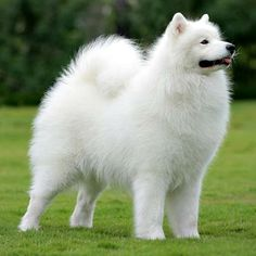 My favorite dog of all time the samoyed