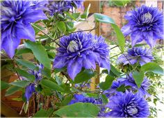 powojnik blue light clematis