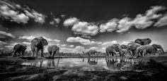 Herd of elephants at a watering hole, Mashatu, Botswana, Africa.