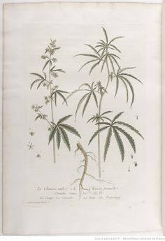 Chanvre, La botanique mise à la portée de tout le monde... Exécuté et publié par les Sr et De Regnault.... Tome 2 | 1774