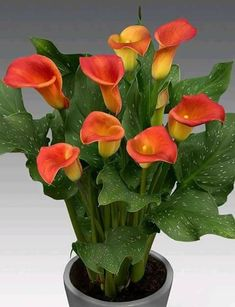 Calla lily is a graceful, sensual, exotic, trumpet-shaped bloom. Did you know calla lilies are poisonous to your cat or dog? Calla Lily Flowers, Calla Lillies, All Flowers, Exotic Flowers, Beautiful Flowers, Cactus Flower, Flowers Garden, Tropical Flowers, Purple Flowers