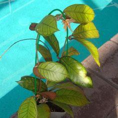 Hoya sp. Gunung Gading Cutting SRQ 3189 [3189x] - $24.00 : Buy Hoya Plants Online in Many Species from SRQ Hoyas Today!