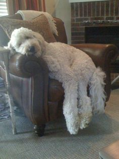 Come see the wonderful photos of Goldendoodles and Labradoodles - and vote in our photo contest! Cute Puppies, Cute Dogs, Dogs And Puppies, Doggies, Big Dogs, I Love Dogs, Animals Beautiful, Cute Animals, Goldendoodles