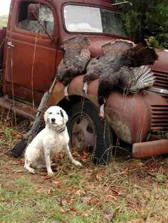 thanksgiving dogs pics | The dogs are just a tool in helping you find and flush the turkeys.