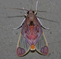 Moths of southern Venezuela Noctuidae