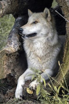 ~ HOLLOWED OUT TREE TRUNK, GOOD CHOICE FOR WOLF DEN OR HUNTING PLATFORM ~
