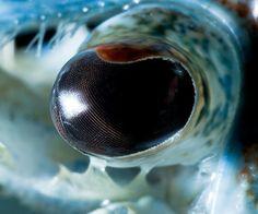 ojo Cangrejo de rió azul